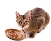 Beautiful bengal cat eats cat-like meal on the white background — Stock Photo