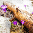 Wild spring crocuses growing through snow — Stock Photo