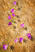 Wild spring crocuses growing at valley over hay — Stock Photo