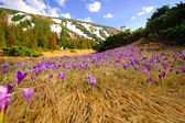 Wild spring crocuses growing at mountain valley — 图库照片