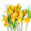 Yellow spring crocuses — Stock Photo