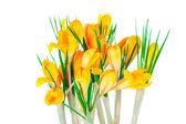 Yellow spring crocuses — Stock Photo