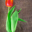 Spring tulip flower isolated on linen canvas background — Stock Photo