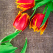 Spring tulip flowers isolated on linen canvas background — Stock Photo