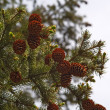 Top of a fur-tree with cones — Stock Photo