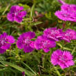 Pink flowers of a meadow carnation — Stock Photo