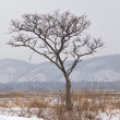 Lonely tree in the winter — Stock Photo