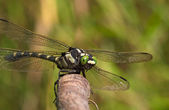 Large dragonfly with green eyes — 图库照片