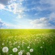 Field of dandelions — Stock Photo #9243591