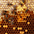 Honey comb and a bee working — Stock Photo #9245167