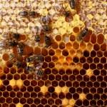 Мед в сотах и Рабочая пчела — Стоковое фото #9245167