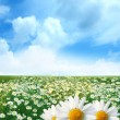 Field of daisies - Stock Photo