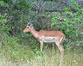 Africa Wildlife: Impala — Fotografia Stock