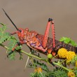 Pyrgomorphid grasshopper — Stock Photo