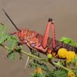 Pyrgomorphid grasshopper - Stock Photo
