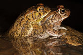 Mating guttural toads — Stock Photo