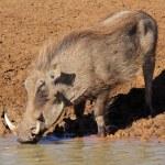 Warthog drinking water — Stock Photo #10352427