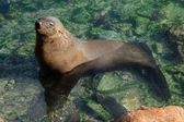 Brown fur seal — Stock Photo