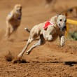 Sprinting greyhound — Stock Photo #10547454