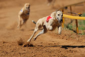 Sprinting greyhound — Stock Photo