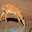 Royalty-Free Stock Photo: Nyala antelope drinking