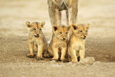 Cute lion cubs — Stock Photo