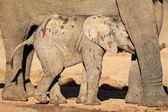 Filhote de elefante africano — Fotografia Stock