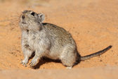 Whistling rat — Stock Photo