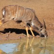 Nyala antelope drinking — Stock Photo