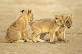 Cute lion cubs — Stockfoto