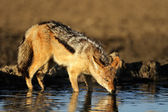 Drinking Jackal — Stock Photo