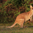 Agile Wallaby — Stock fotografie