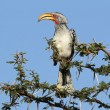 Yellow-billed hornbill - Stock Photo