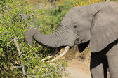 Feeding African elephant — Stock Photo