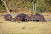 Hippo family — Stock Photo