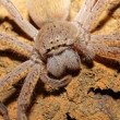 Spider portrait - Stock fotografie