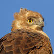 Tawny eagle - Stock Photo