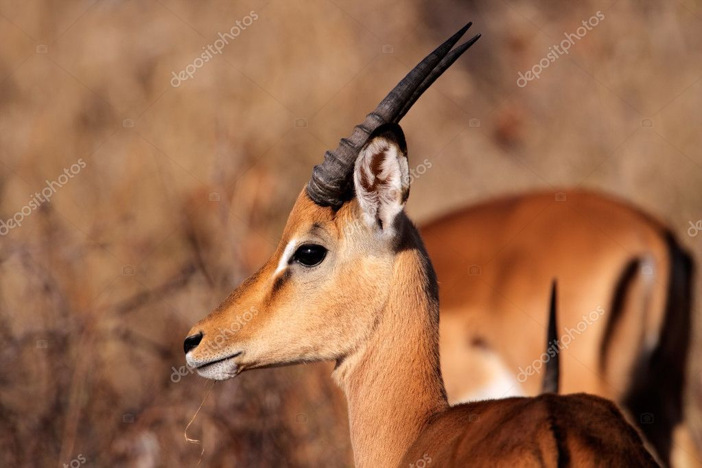 Portrait a young male impala antelope (Aepyceros melampus), South Africa — Stock Photo #8950651