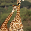 Giraffe interaction - Stock Photo