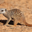 Foraging meerkat - Stock Photo