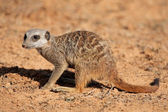 Foraging meerkat — Stock Photo