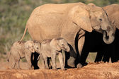 African elephant with calves — Stock Photo