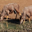 Nyala antelopes drinking — Stock Photo