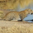 Leopard at waterhole - Stock Photo