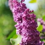 Closeup of lilac blossom — Stock Photo