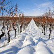 Vineyard at winter. Rhine valley, Germany — Stock Photo