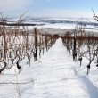 Stock Photo: Vineyard at winter. Rhine valley, Germany