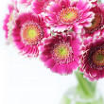 Pink gerbera daisies — Stock Photo #9654568