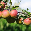 Apples — Stock Photo #9654592