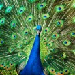 Peacock — Stock Photo #9656895